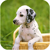 Dalmatian Dog Breed HD Images