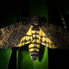 Death Head's hawk moth