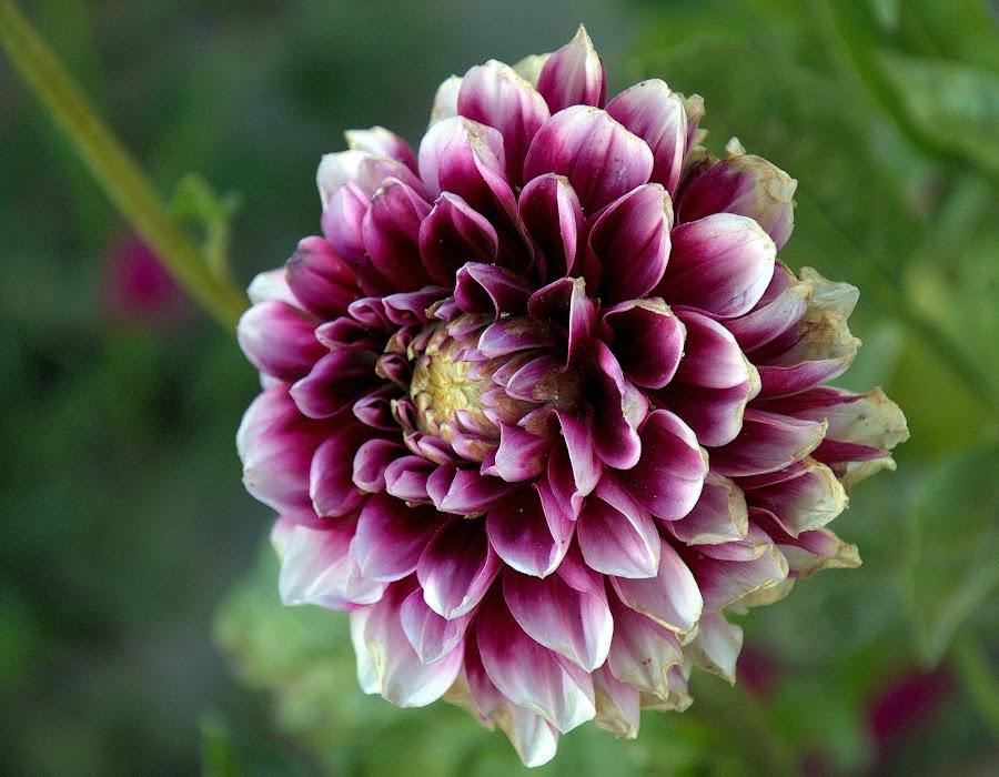 Dhalia by Fernanda Magalhaes - Flowers Single Flower ( nature, flores, dhalia, close up, flower,  )