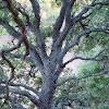Oak Tree with Lichen