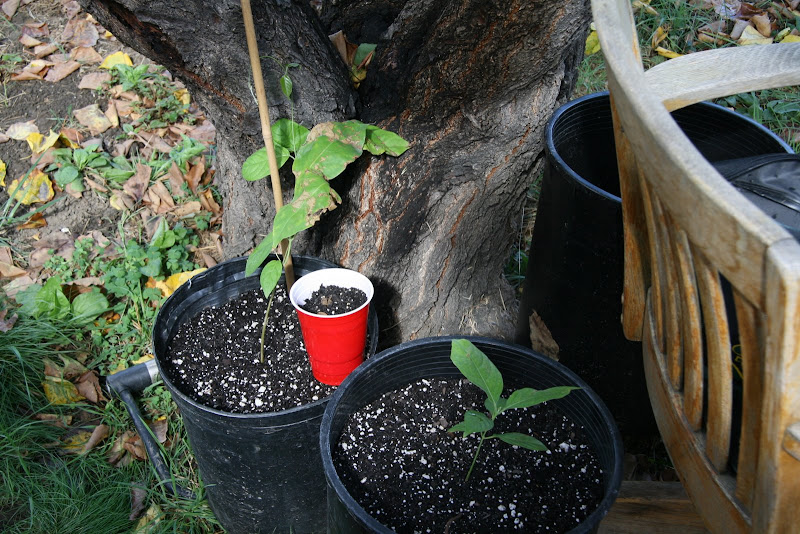 how to grow ak 47 outdoors