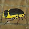 African fruit beetle