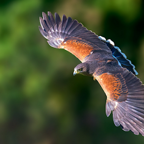Harris's hawk by Roberto Melotti - Animals Birds ( roberto melotti, bird of prey, parabuteo unicinctus, nikon d810, harris's hawk, dusky hawk, bird, flying, flight, poiana di harris, falco di harris, falcon, raptor, bay-winged hawk )