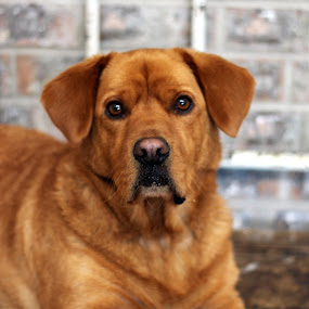Such a Pretty Poser by Debbie Sodeman-Roelle - Animals - Dogs Portraits ( canine, dogs, pet, portrait )