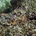 Stone Scorpionfish
