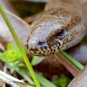 Slow-worm ( Hazelworm )