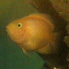Bloody Parrot Cichlid