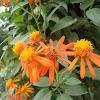 Flor Naranja Margarita?