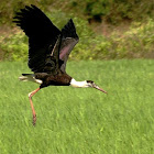 The Woolly-necked Stork