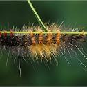 Red Hair Catterpillar