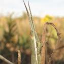 Wyoming Toothpick Grasshopper
