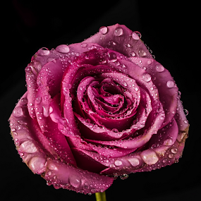 Rose with drops by Cristobal Garciaferro Rubio - Flowers Single Flower ( rose, drop, roses, drops, flowers, flower )