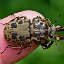 Brown Stag Beetle