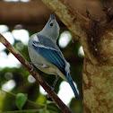 Blue-gray Tanager (sanhaçu-da-amazônia)