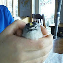 golden crown kinglet