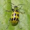 Spotted Cucumber Beetle.