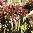 Tree Aeonium