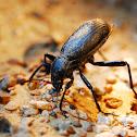 Beetle - Desert skunk Beetle