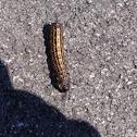Orange-striped oak worm