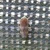 Leafhopper, female