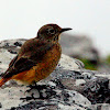 Cape Rock Thrush (Juvenile)
