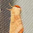 Drexel's datana moth
