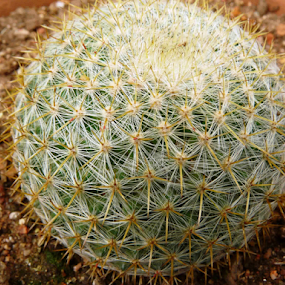 Cactus Ball by Nadir Aziz - Nature Up Close Other plants ( plant, pattern, green, thorns, cactus,  )