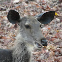 Sambar (deer)