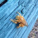 Sonoran carpenter bee (Male)