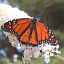 Monach Butterfly