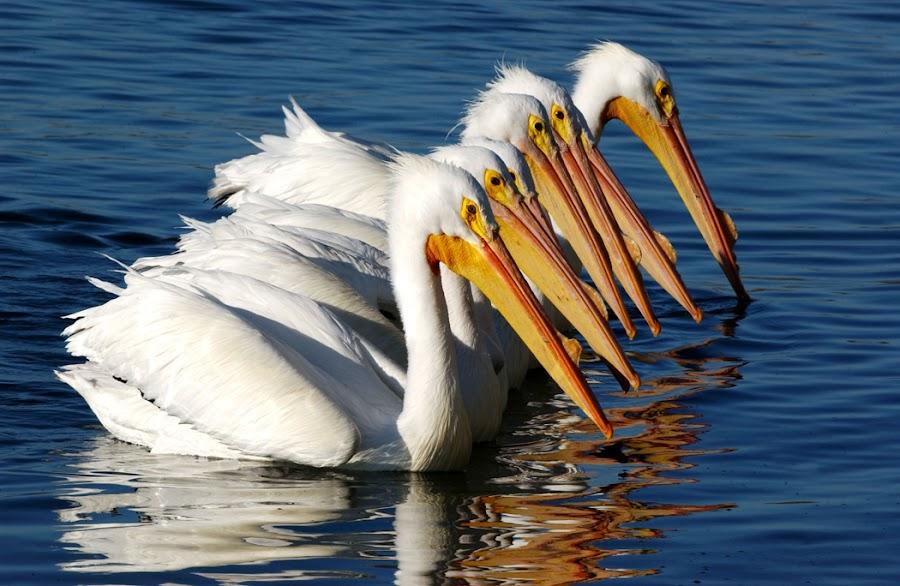 White Pelicans Chorus line by Richard Duerksen - Animals Birds ( chorus line, white pelicans,  )