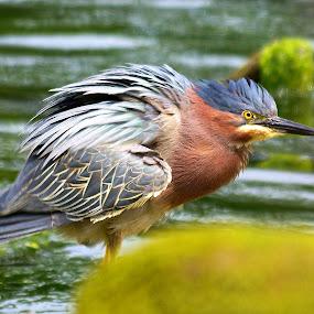 Adult Green Heron by Steve Kane - Animals Birds ( shore birds, green heron, river birds, estuary birds, canadian wildlife,  )