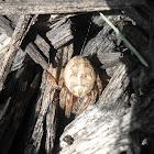 Marbled Spider