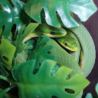 rough green snakes