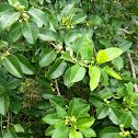 Short-leaf Fig