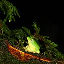 台北樹蛙(Taipei tree frog)