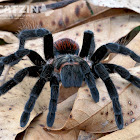 Mexican Redrump Tarantula