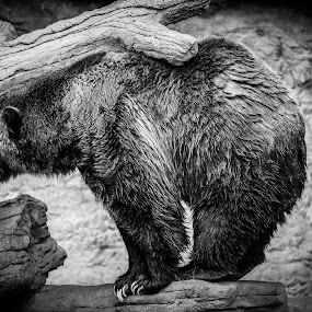 Grizzly Bear Profile by David Andrus - Animals Other Mammals ( denver zoo, brown bear, grizzly bear )