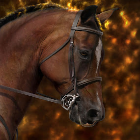 Arabian Fire by Alicia McNally - Animals Horses ( dressage, arabian horse, dressage horse, horse, bay horse,  )