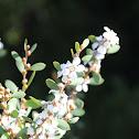 Australian Tea Tree