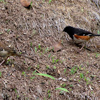 Eastern Towhee (male & female)