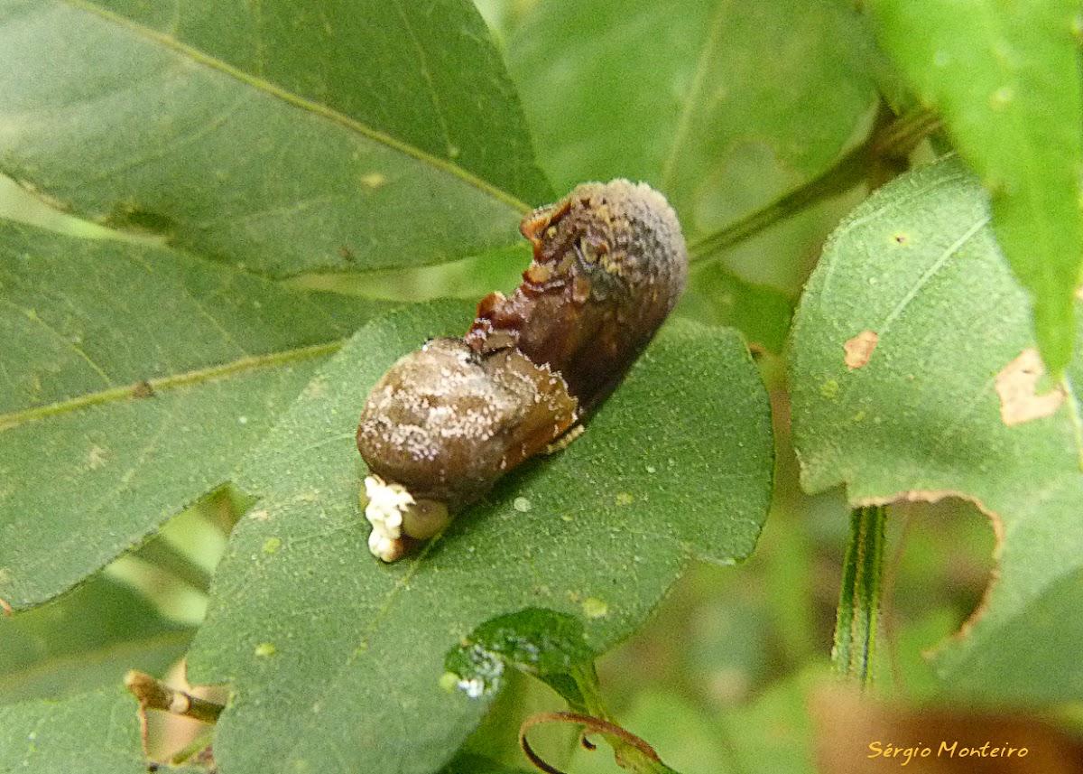 Gonodonta moth