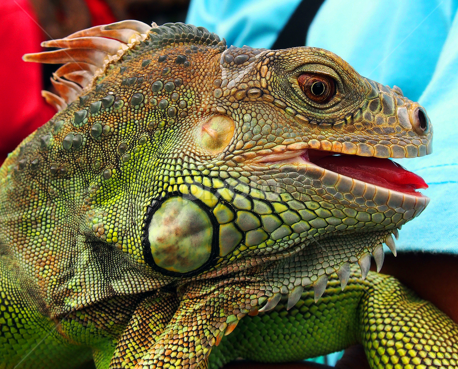 by Cacang Effendi - Animals Reptiles ( cattery, chandra, magelang, travel, animal )
