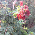 Mimosa tree (Silk tree)