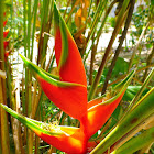 Red Palulu Heliconia