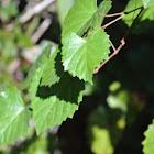 Muscadine Grape