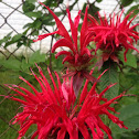 Crimson Beebalm
