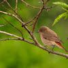 Colirrojo real (Common Redstart)
