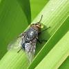 Bluebottle fly blowing bubbles