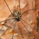 Harvestman Arachnid